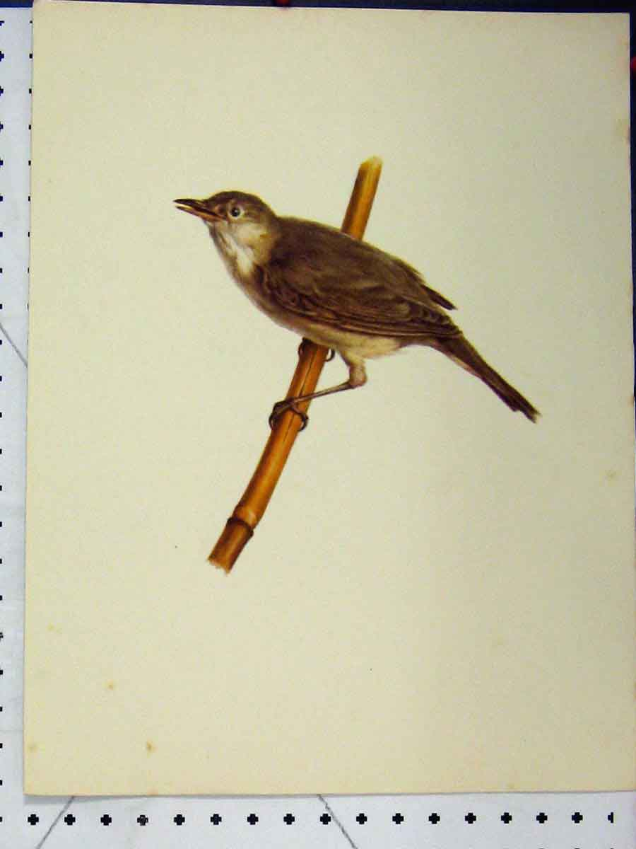 Print 1977 Larousse Animal Portrait Small Brown Bird Colour 163A179 Old Original