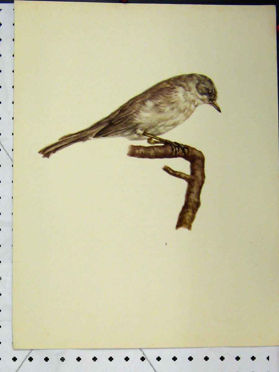 Print Lesser White Throat Bird 1977 Larousse Animal Portrait 164A179 Old Original