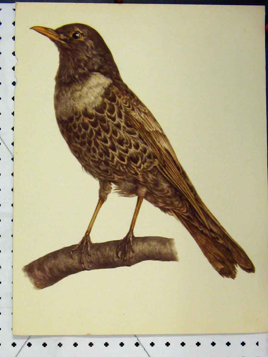 Print Brown Wild Bird 1977 Larousse Animal Portrait Colour 169A179 Old Original