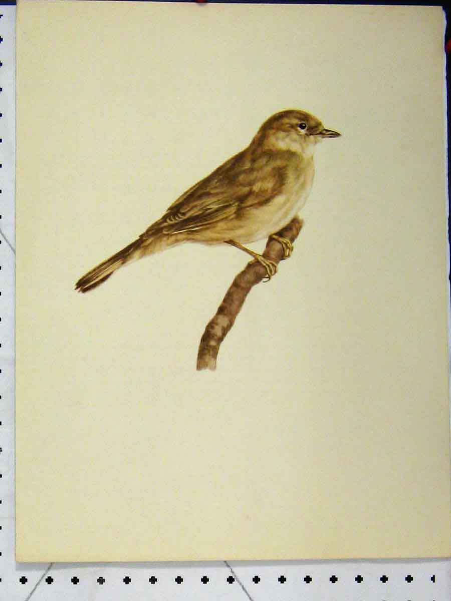 Print 1977 Larousse Animal Portrait Small Brown Wild Bird 171A179 Old Original