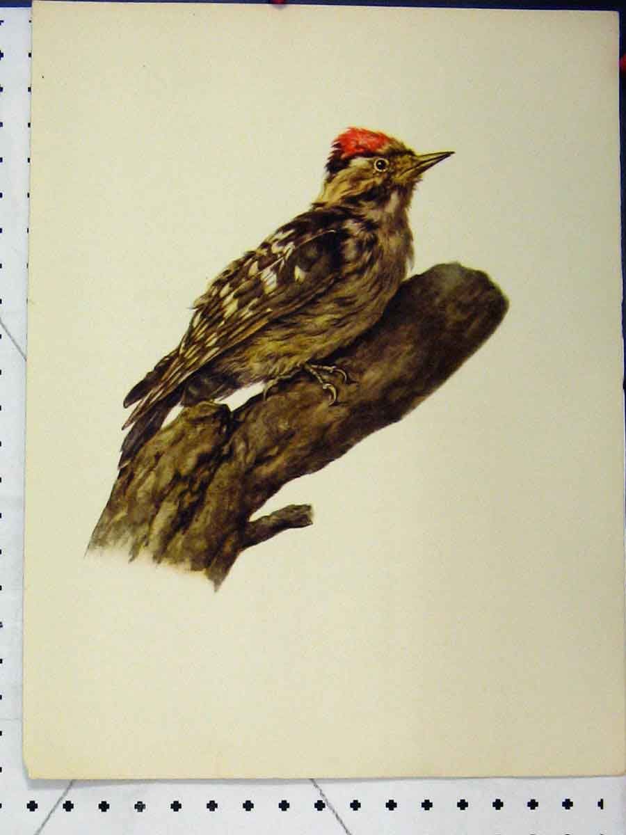 Print 1977 Woodpecker Bird Larousse Animal Portrait Colour 175A179 Old Original