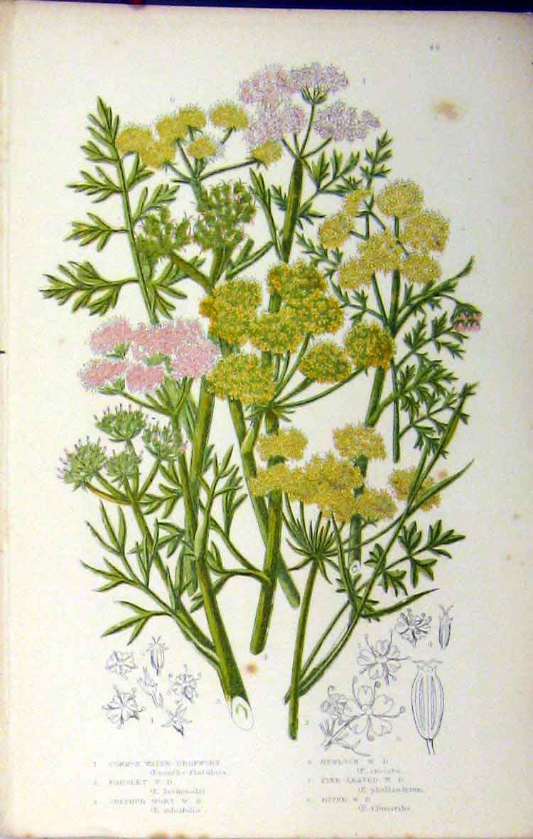 Print Dropwort Parsley Hemlock Sulphur Wort C1880 Anne Pratt 138A180 Old Original