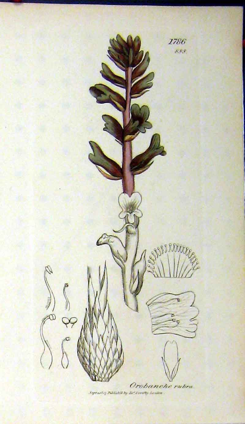 Print Orobanche Rubra Plant 1807 Sowerby Botanical 340A181 Old Original