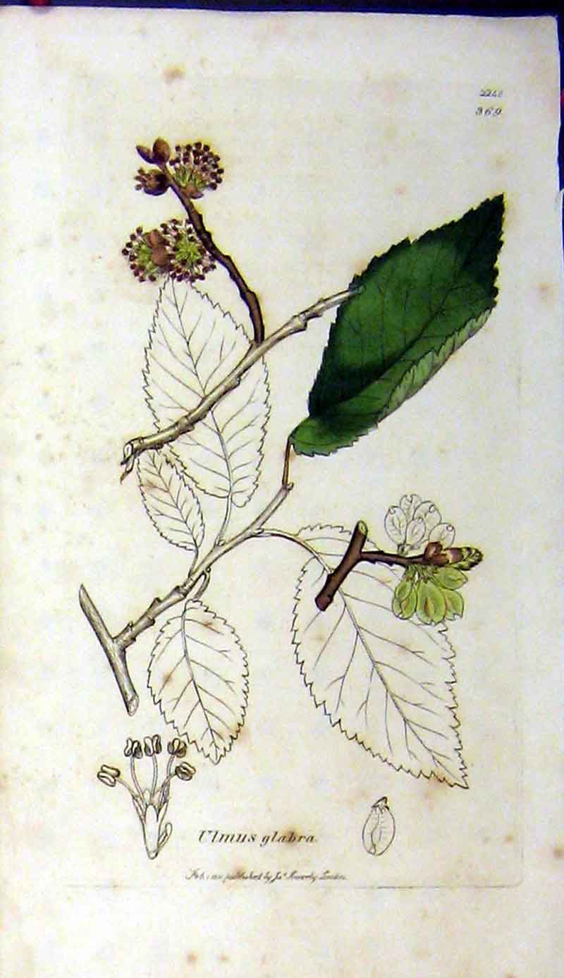 Print 1811 James Sowerby Botanical Ulmus Glabra Plant 374A181 Old Original