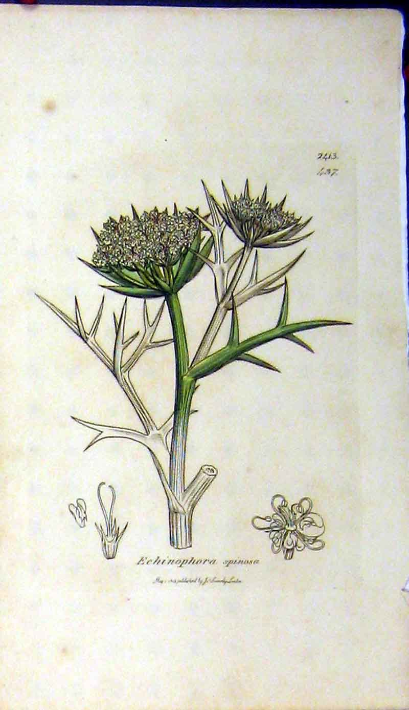 Print 1812 Sowerby Botanical Echinophora Spinosa Plant 399A181 Old Original
