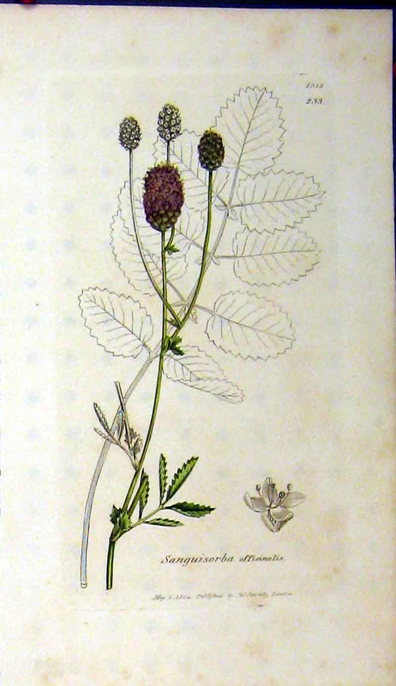 Print Sanguisorba Officinalis 1804 Sowerby Botanical Grass 449A181 Old Original