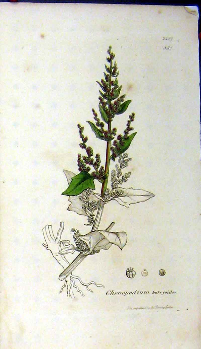 Print 1811 Chenopodium Botryoides Sowerby Botanical 457A181 Old Original