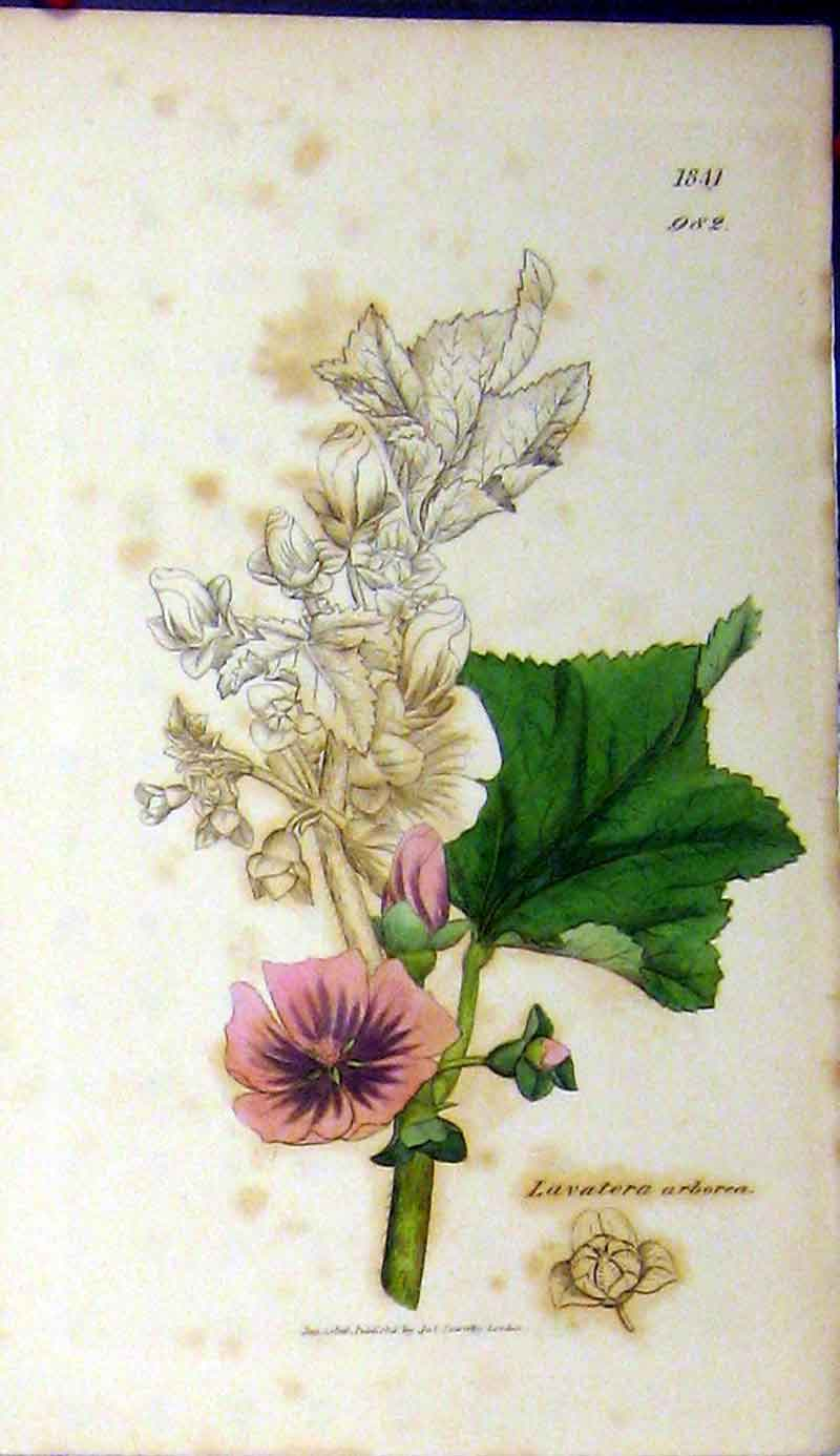 Print Sowerby Botanical 1808 Lavatera Arborea Flower 458A181 Old Original