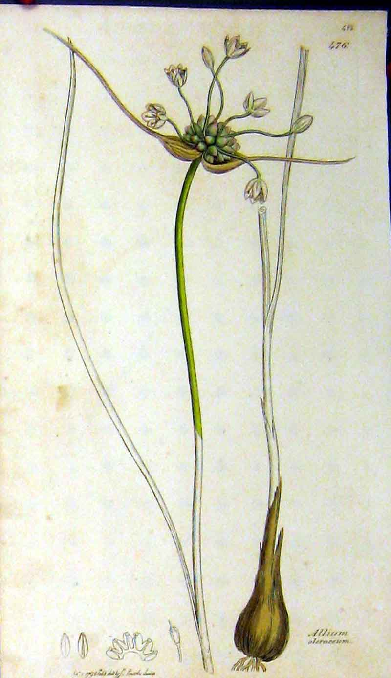 Print Allium Oleraceum 1798 Sowerby Botanical Grass Plant 468A181 Old Original