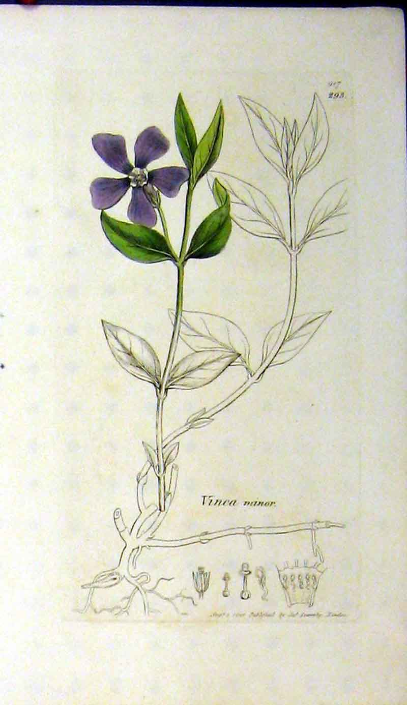 Print Vinca Minor 1801 Sowerby Botanical Flower Plant 477A181 Old Original