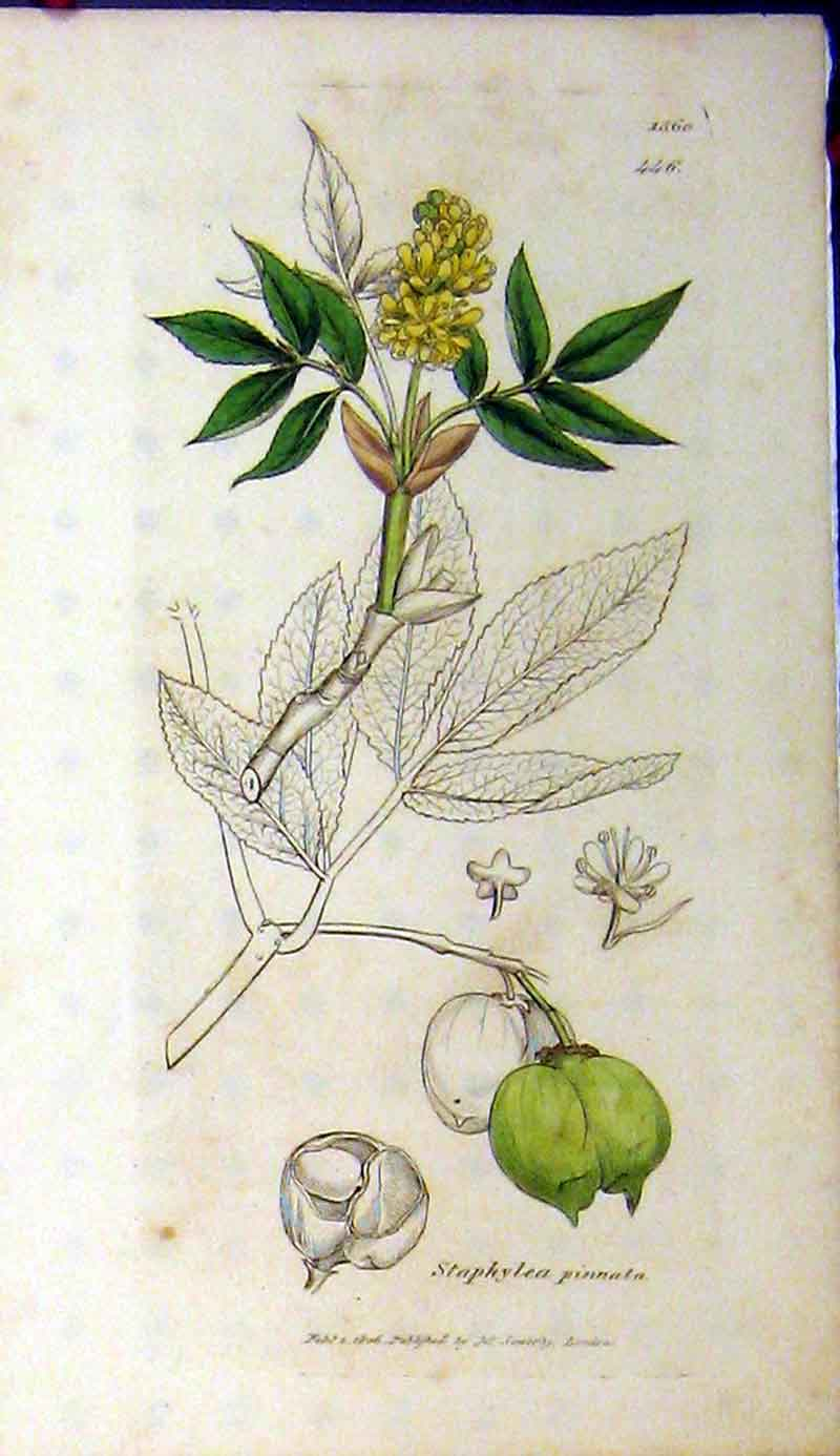 Print 1806 Sowerby Botanical Staphylea Pinnata Plant 519A181 Old Original