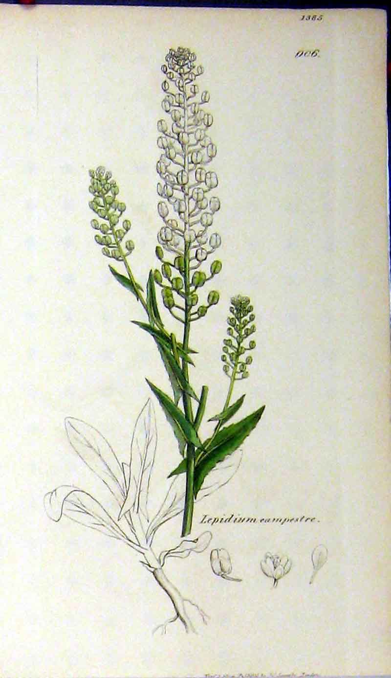 Print Sowerby Botanical Lepidium Campestre Colour 537A181 Old Original