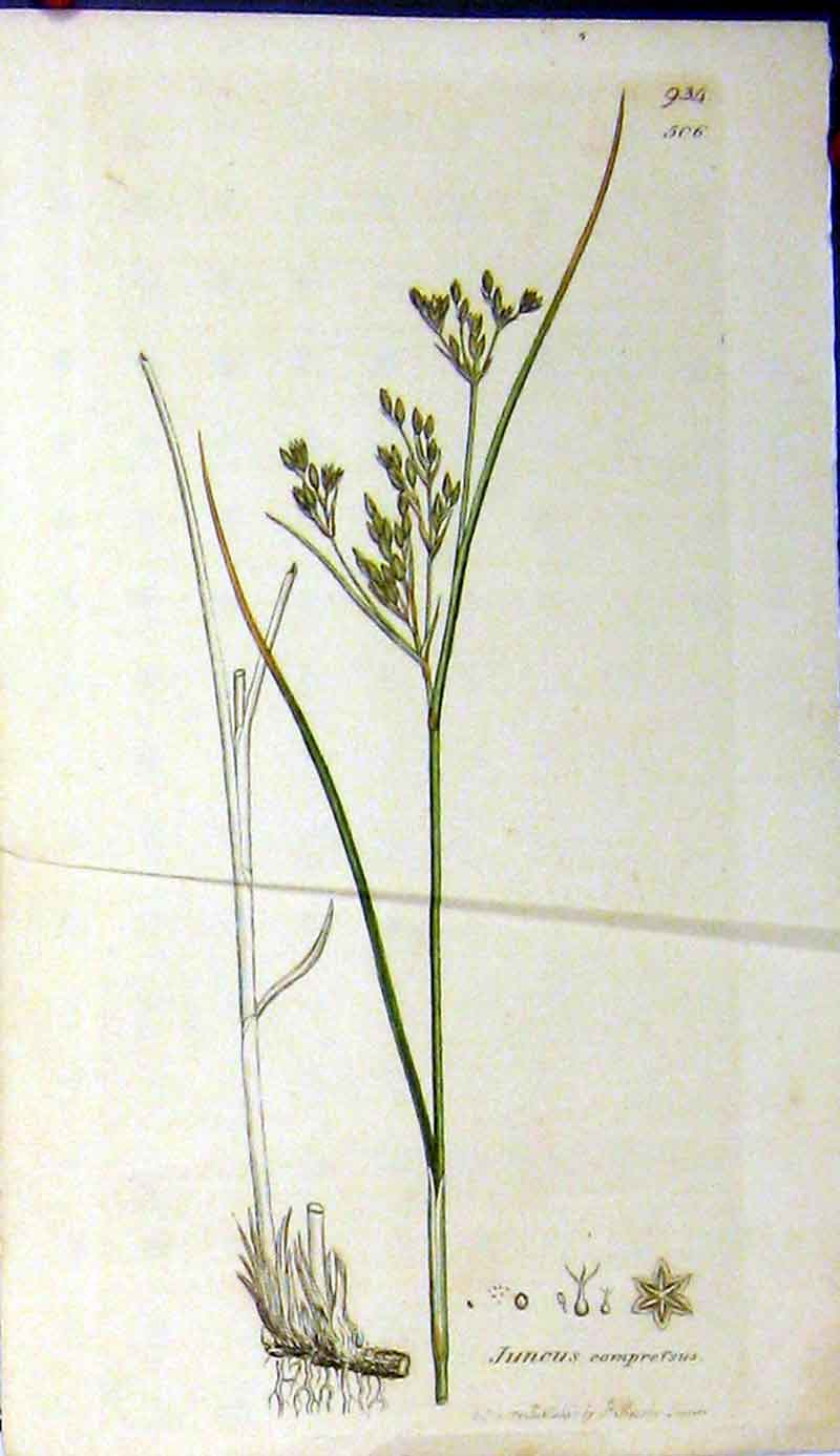 Print 1801 Sowerby Botanical Juncus Comprefsus Plant 539A181 Old Original