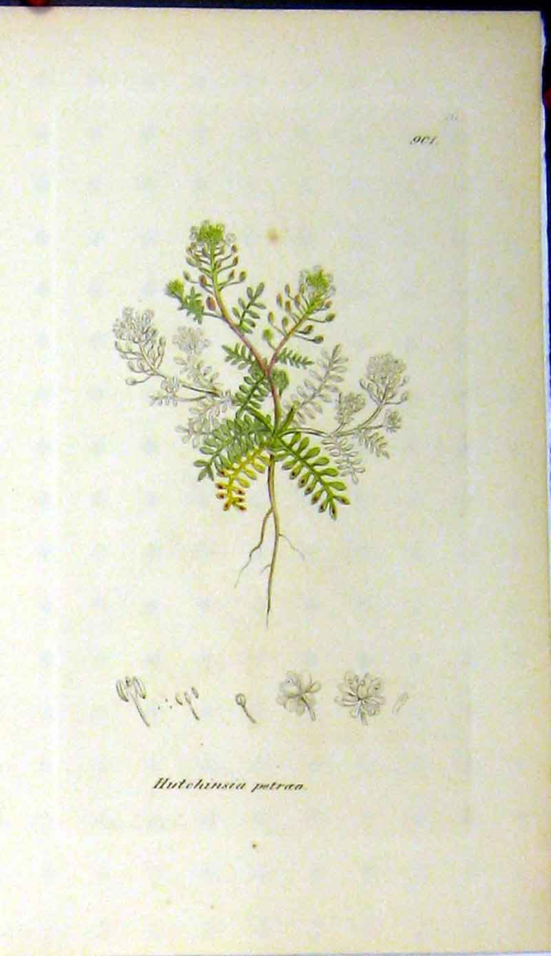 Print James Sowerby Botanical Hutchinsia Petroea Plant 561A181 Old Original