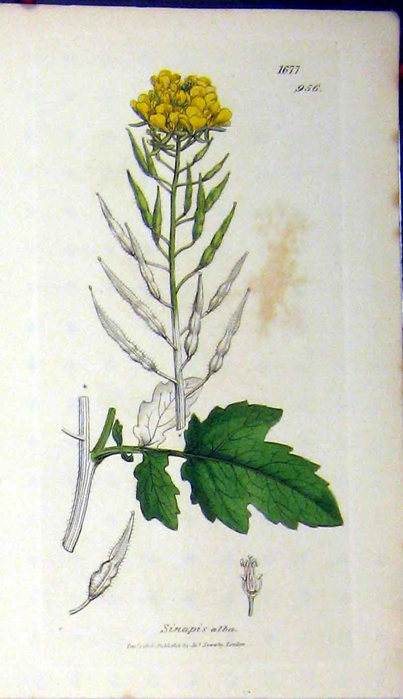 Print 1806 Sowerby Botanical Sinapis Alba Plant Flower 567A181 Old Original