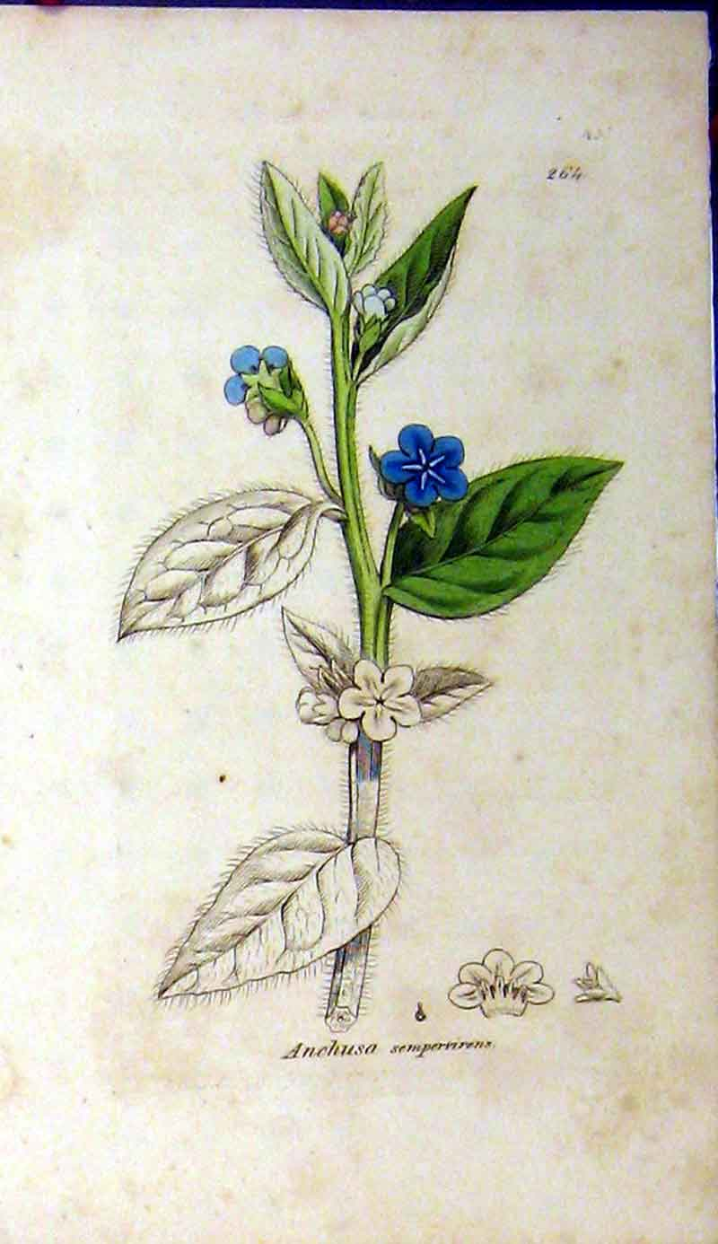 Print Sowerby Botanical Anchusa Sempervirens Plant 583A181 Old Original