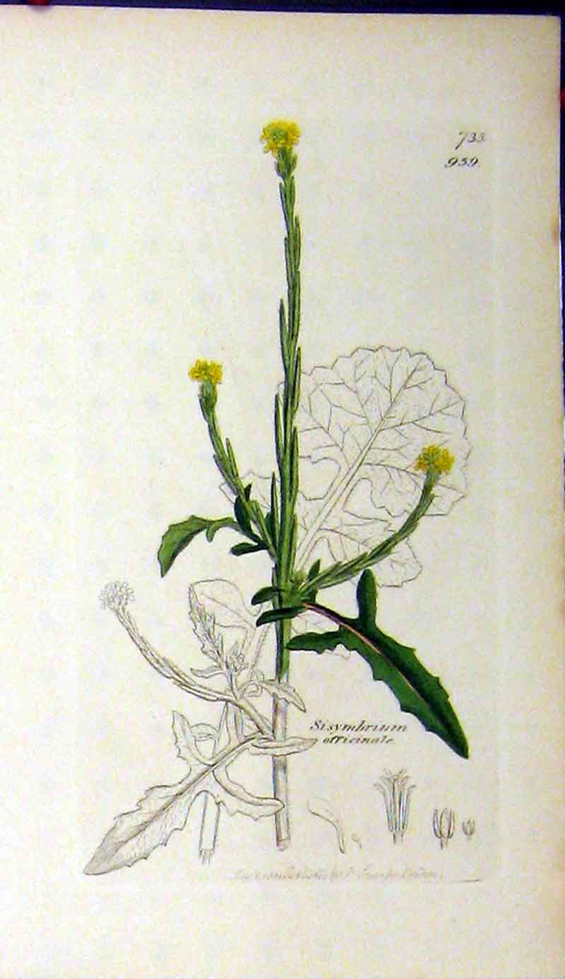 Print 1800 Sowerby Botanical Sisymbrium Officinale 609A181 Old Original