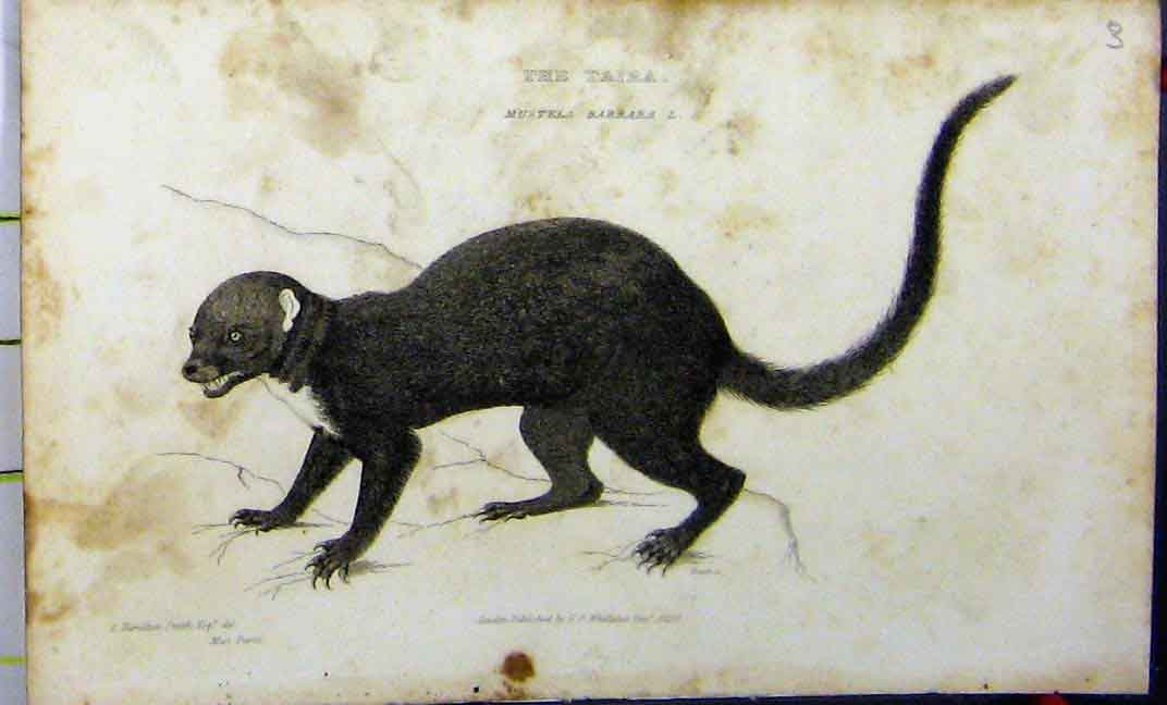 Print 1824 Whittaker Natural History Taira Animal 605A182 Old Original