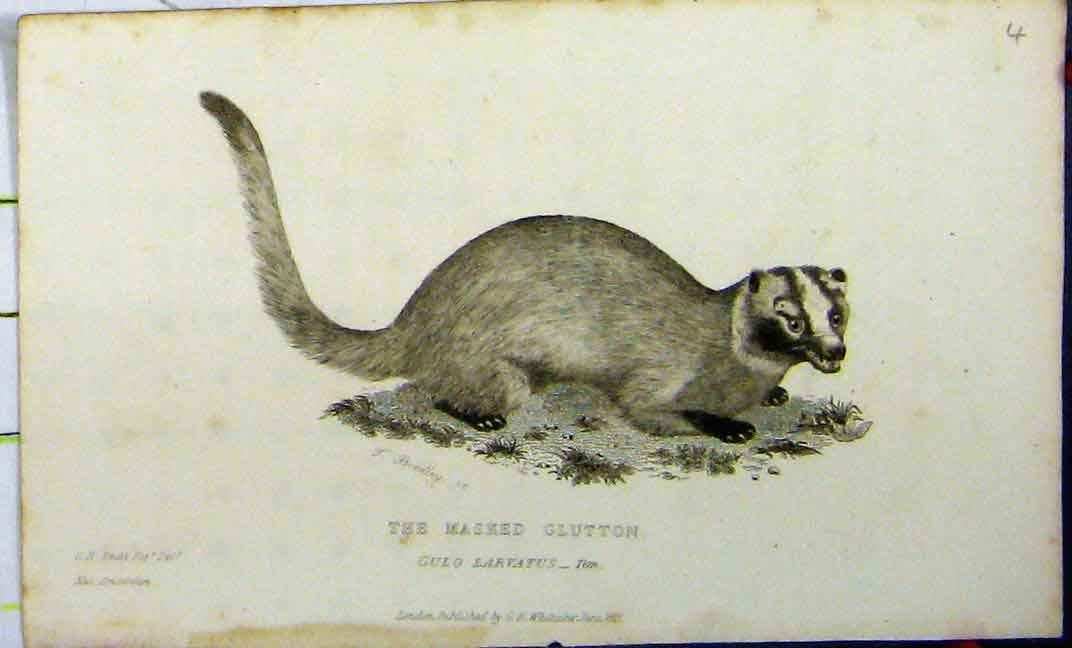 Print Masked Glutton 1825 Natural History Whittaker Animal 611A182 Old Original