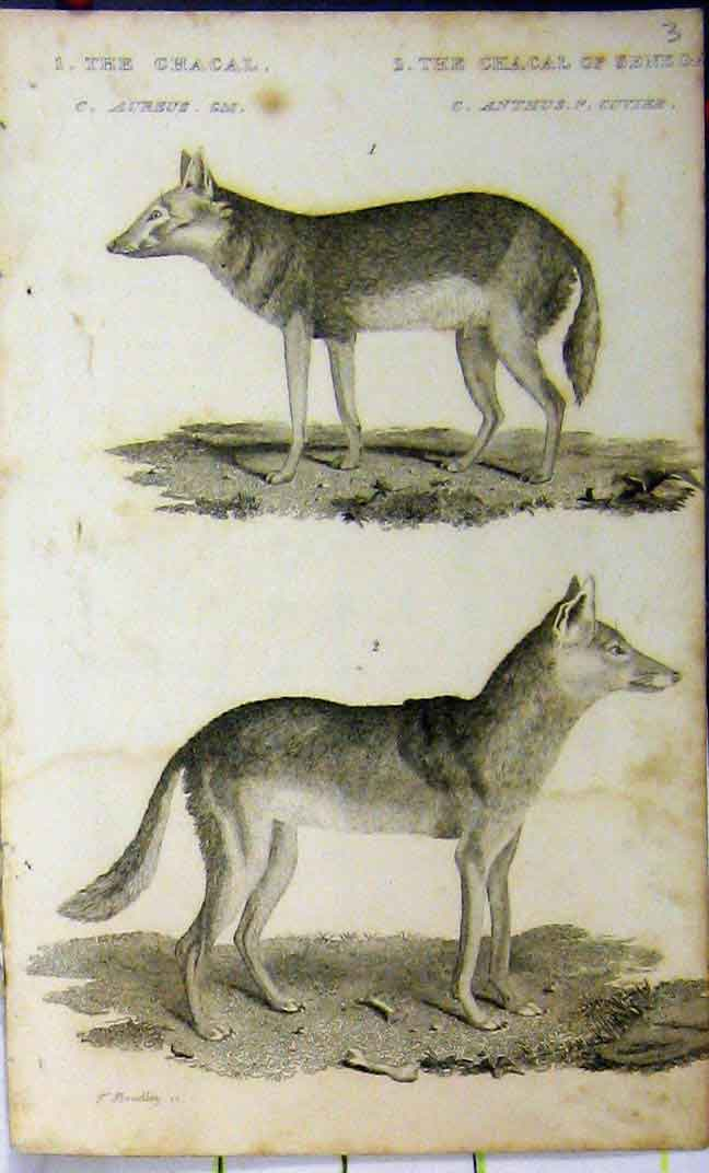 Print 1825 Natural History Chacal Senega Whittaker Animal 612A182 Old Original