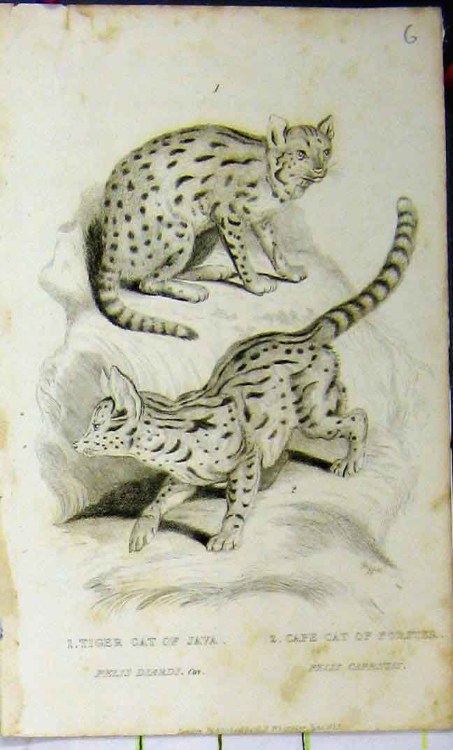 Print 1825 Whittaker Natural History Tiger Cat Cape Forster 613A182 Old Original