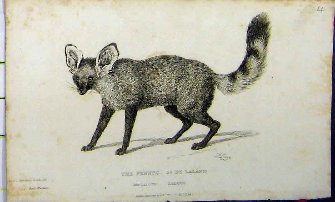 Print Fennec Laland 1824 Natural History Whittaker 617A182 Old Original