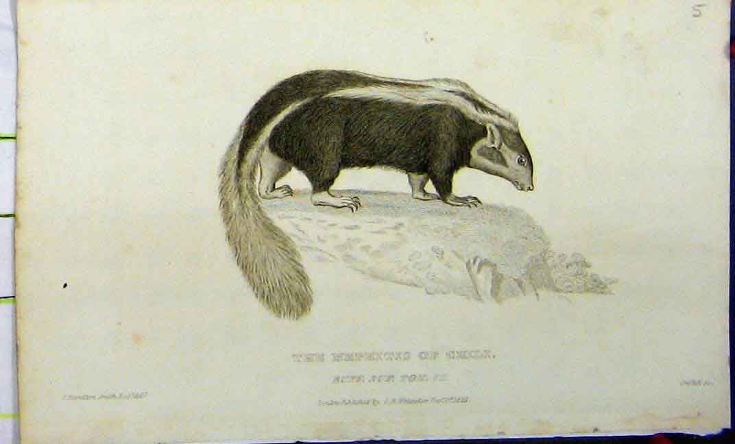 Print Mephitis Chili 1825 Whittaker Natural History 627A182 Old Original