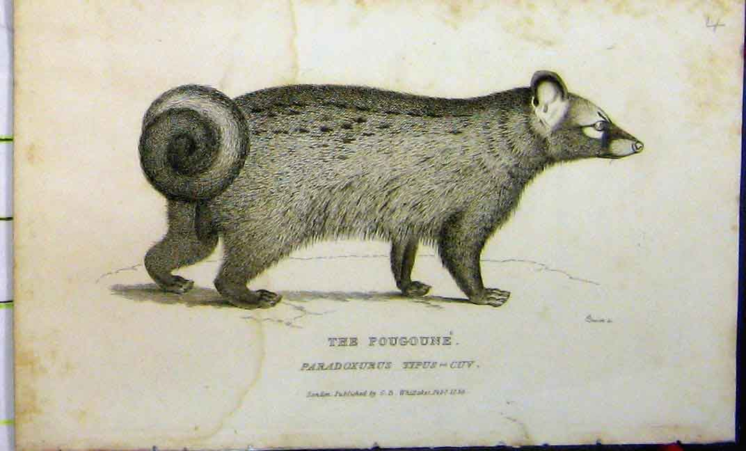 Print Pougoune 1825 Natural History Whittaker Animal 633A182 Old Original