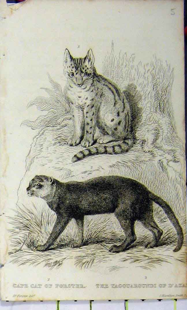 Print Cape Cat Yagouaroundi 1825 Whittaker Natural History 635A182 Old Original