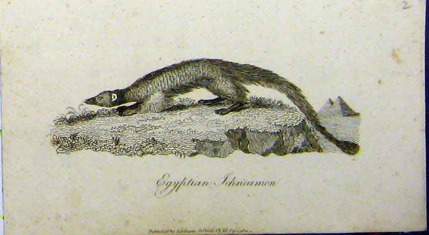 Print Egyptian Ichneumon Animal 1802 Natural History Johnson 657A183 Old Original