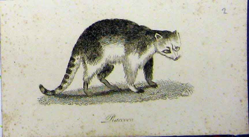 Print Racoon Animal 1802 Natural History Johnson 663A183 Old Original