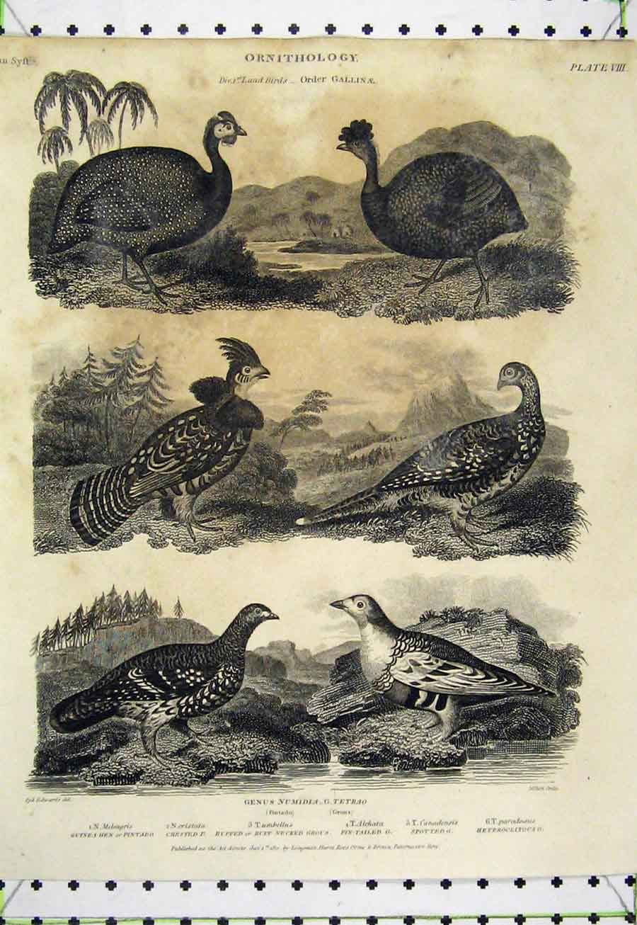 Print 1808 Ornithology Malay Cock Dorking Frizzled Land Birds 510A184 Old Original
