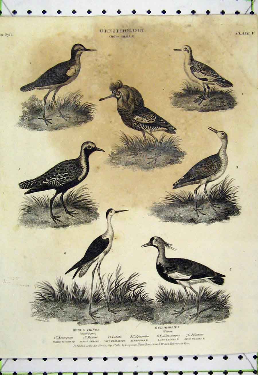 Print 1811 Ornithology Sandpiper Plover Winged Reeve Birds 518A184 Old Original
