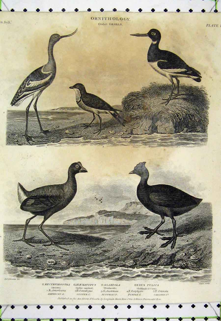 Print 1811 Bird Fulica Coot Oyster-Catcher Avocet Ornithology 520A184 Old Original
