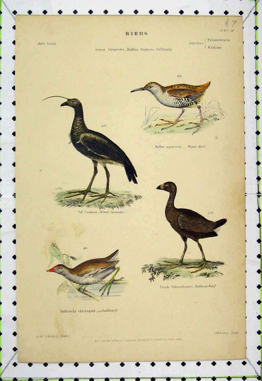 Print Sultana Gallinule Screamer Water Rail C1860 Bird Lowry 532A184 Old Original