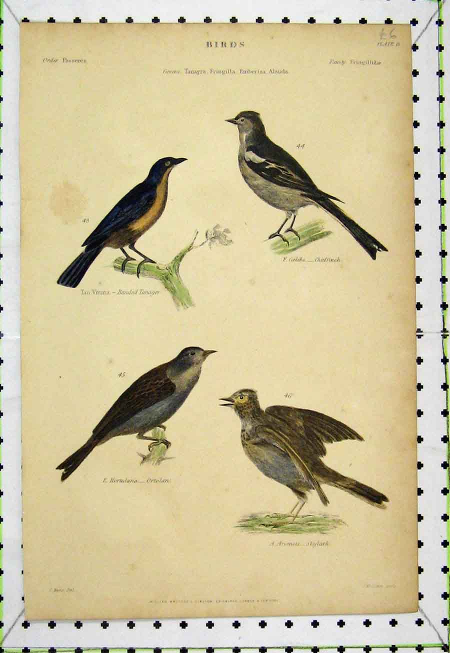 Print Chaffinch Tanager Ortolan Skylark C1860 Bird Lowry 536A184 Old Original