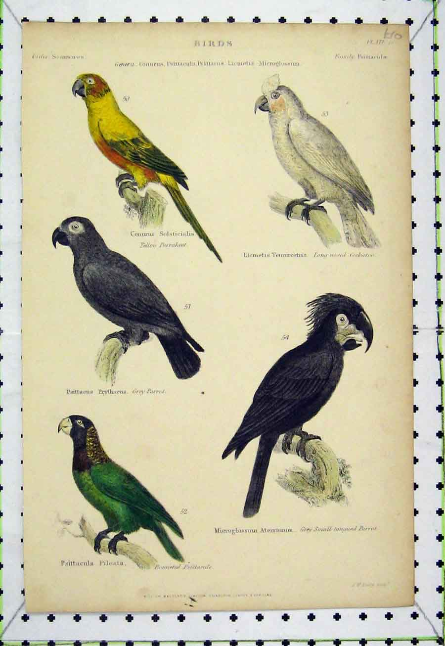 Print Birds C1860 Creeper Lyre Nuthatch Hand Coloured Lowry 537A184 Old Original