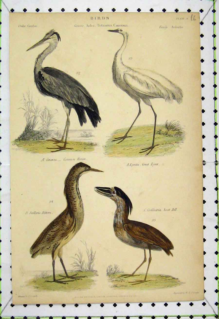 Print Birds C1860 Bittern Boat Bill Egret Common Heron Lowry 541A184 Old Original