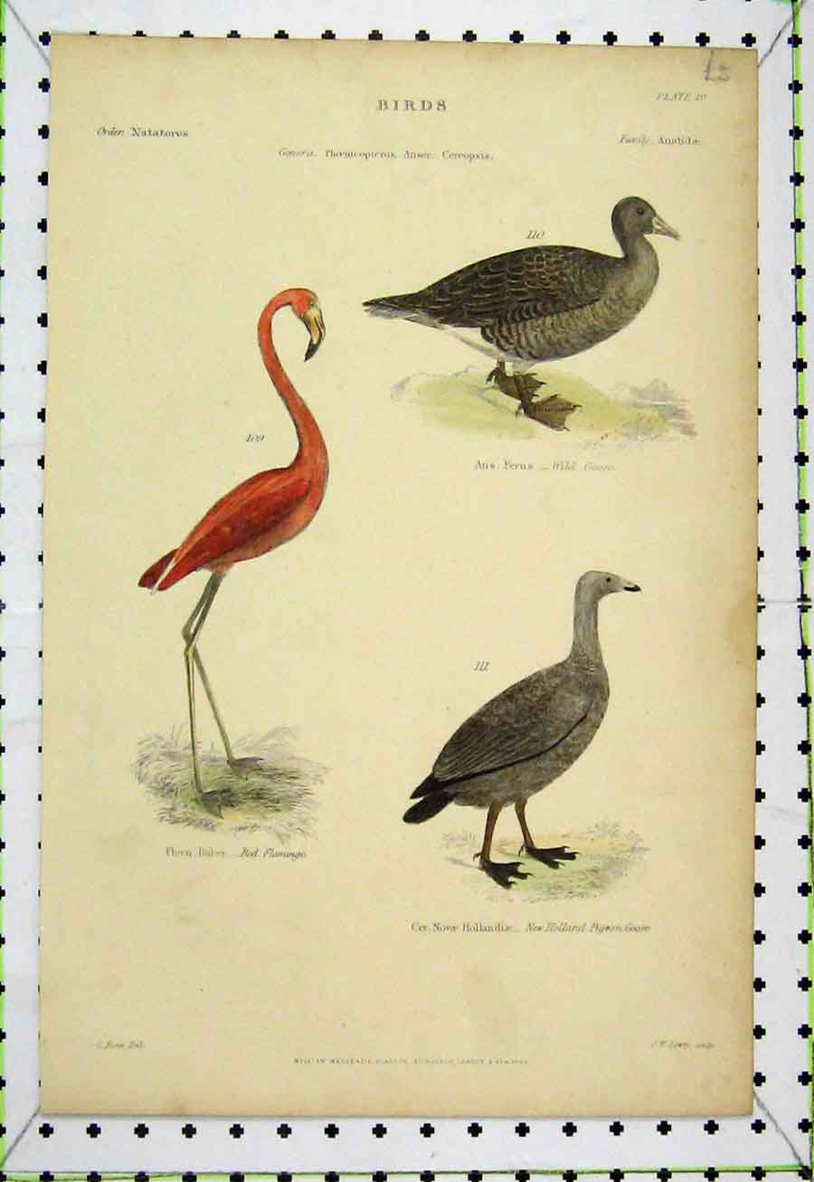 Print Birds Pigeon Wild Goose Red Flamingo C1860 Colour Lowry 542A184 Old Original