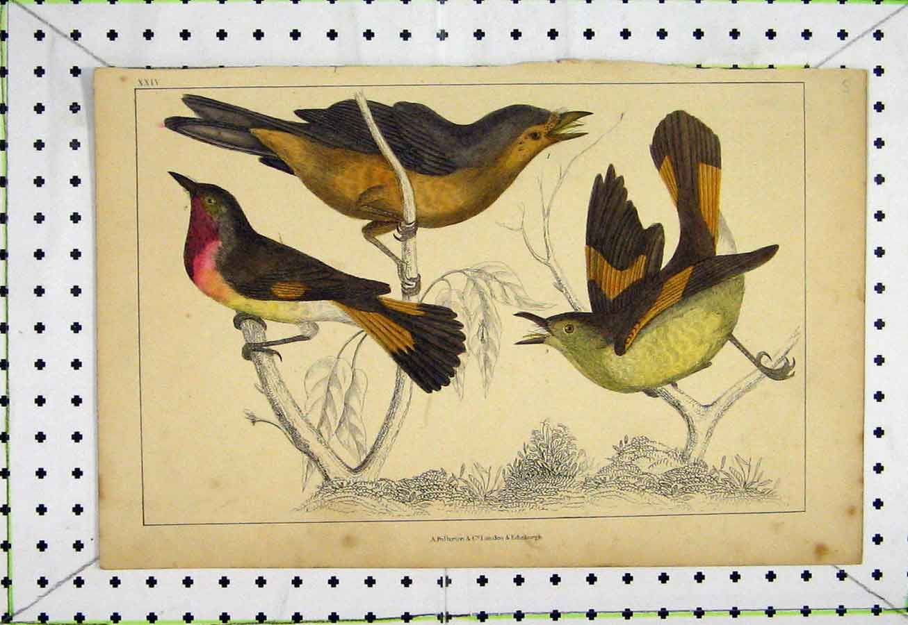 Print C1811 Natural History Colourful Birds Feathers 548A184 Old Original