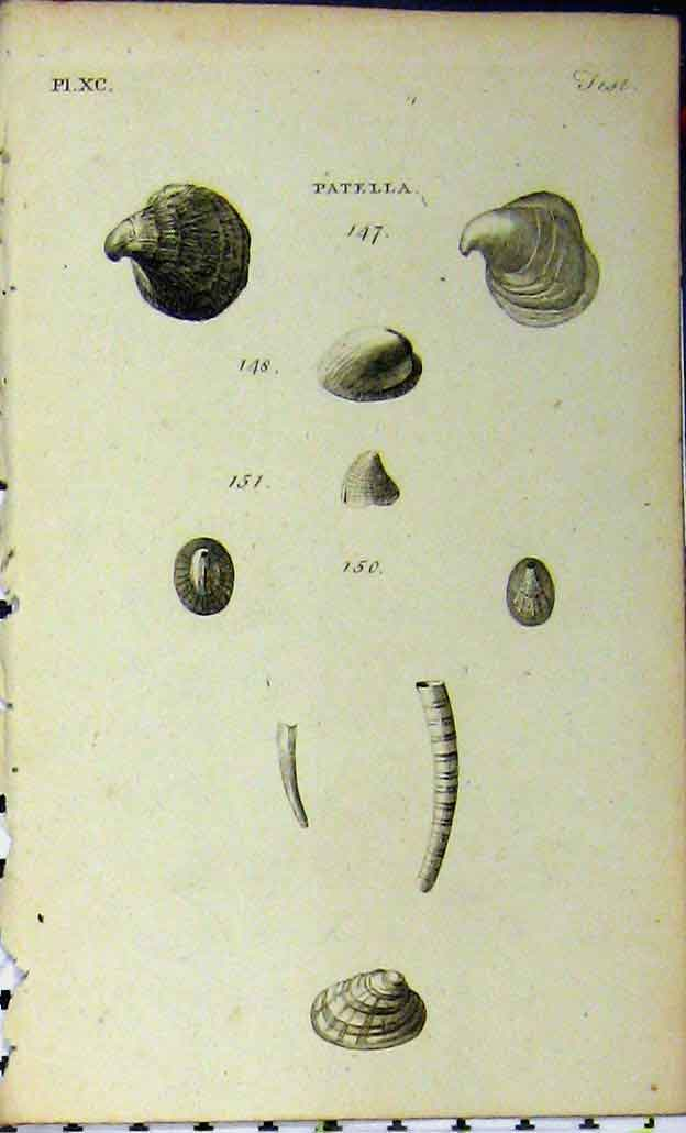 Print Patella Shells C1810 Sea Life Natural History Engraving 719A185 Old Original