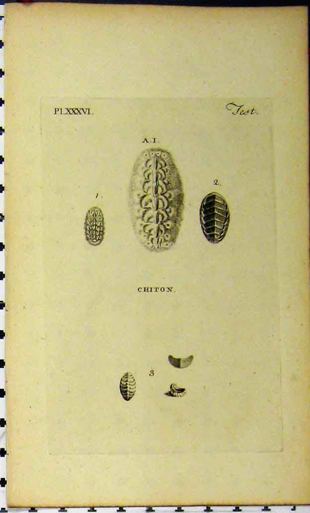 Print Chiton C1810 Shell Sea Life Natural History Engraving 834A185 Old Original