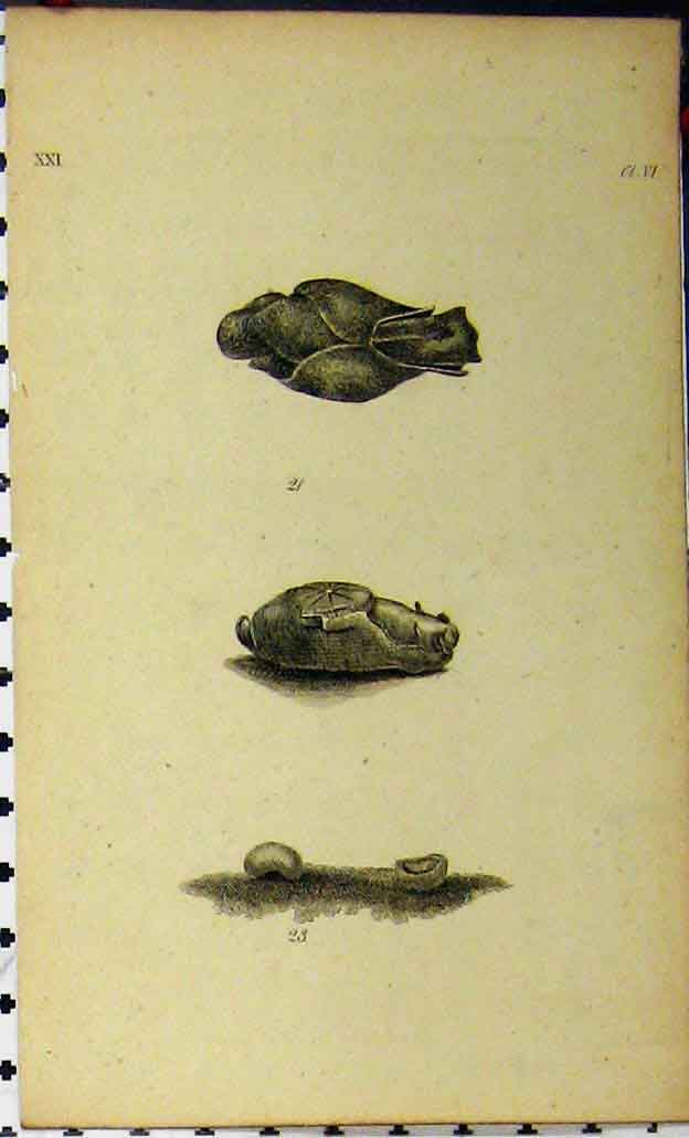 Print Natural History C1810 Sea Life Crustacean Engraving 836A185 Old Original
