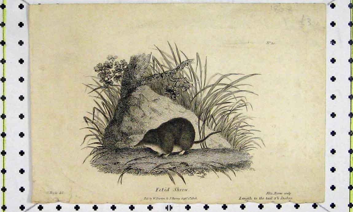 Print 1808 Fetid Shrew Natural History Engraving 710A186 Old Original