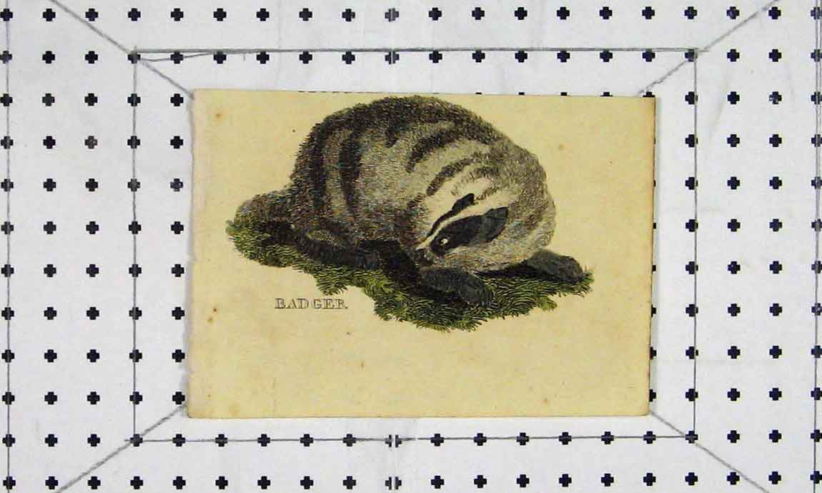 Print Badger C1811 Natural History Engraving Animals 732A186 Old Original