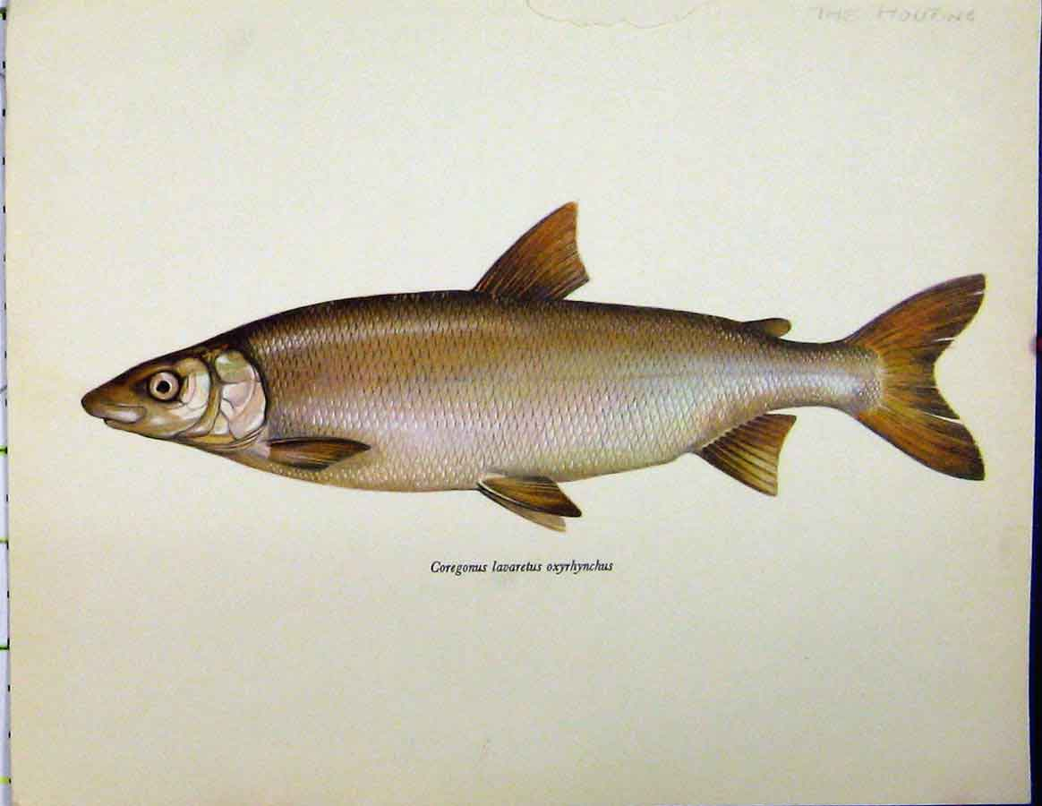 Print C1977 Ziege Fish Pelcus Cultratus Colour 412A187 Old Original