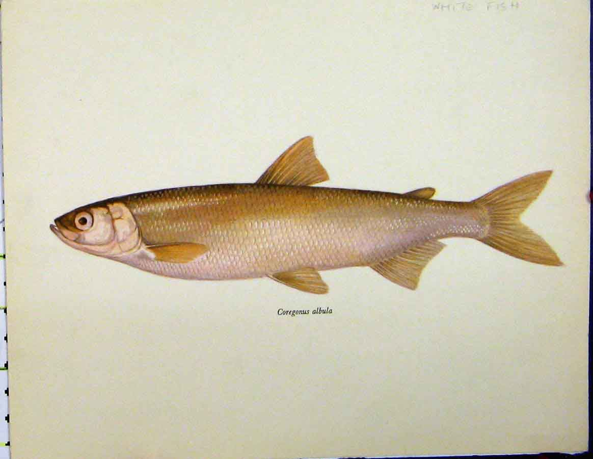 Print White Fish C1977 Coregonus Albula Colour 420A187 Old Original