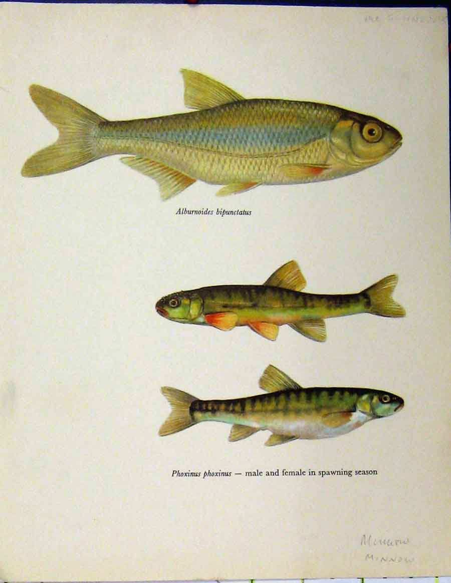 Print Schneider Fish C1977 Minnow Spawning Season Colour 424A187 Old Original