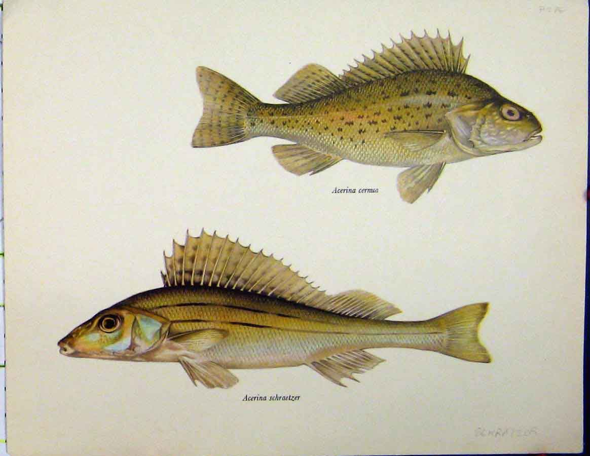 Print Schratzer Fish C1977 Acerina Ceruna Colour 433Aa187 Old Original