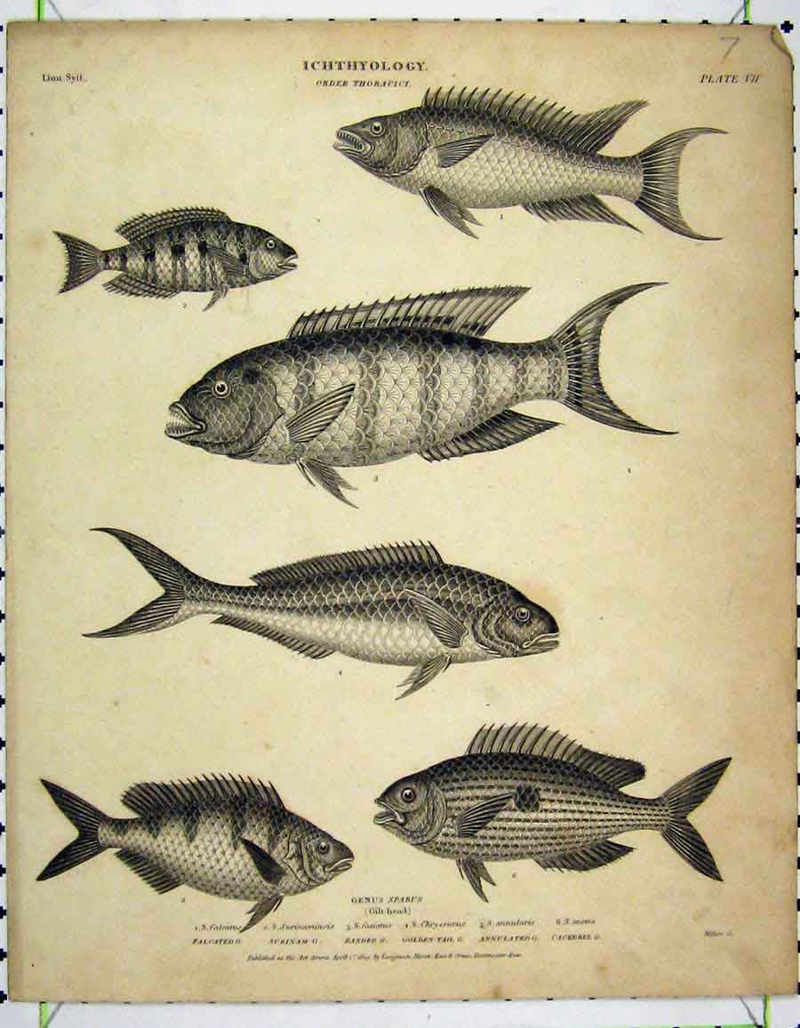 Print 1809 Ichthyology Cackerel Fish Surinam Annulated 201A190 Old Original